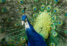 Beautiful Peacock With Feather...