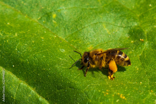 Fotografie, Obraz  Close-up of Bee full of pollen sitting on green leaf