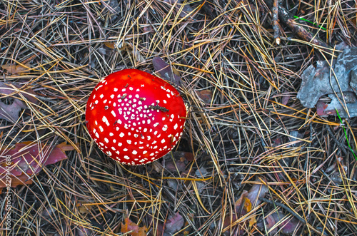 Photo amanita hat from the top