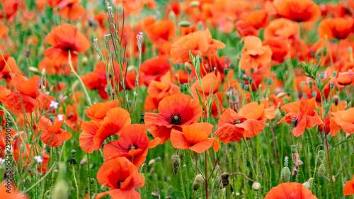 Obraz na płótnie Field of wild poppy flowers