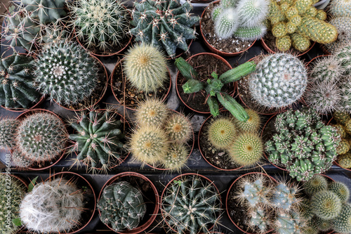 Papiers peints Cactus Collection of small decorative cactuses in pots.