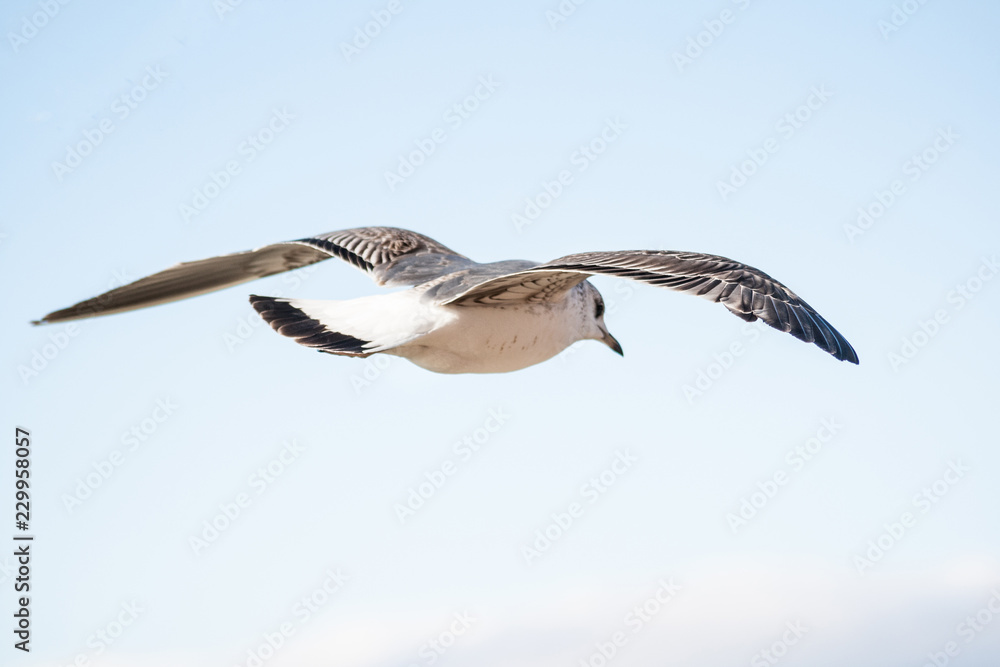 Black-backed Gull ,Larus marinus, in flight in clear blue sky.