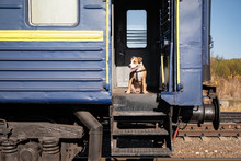 Dog Sits In An Old Distressed Train Car At Entrance Steps. Staffordshire Terrier Puppy In A Vintage Russian Economy Class Cart