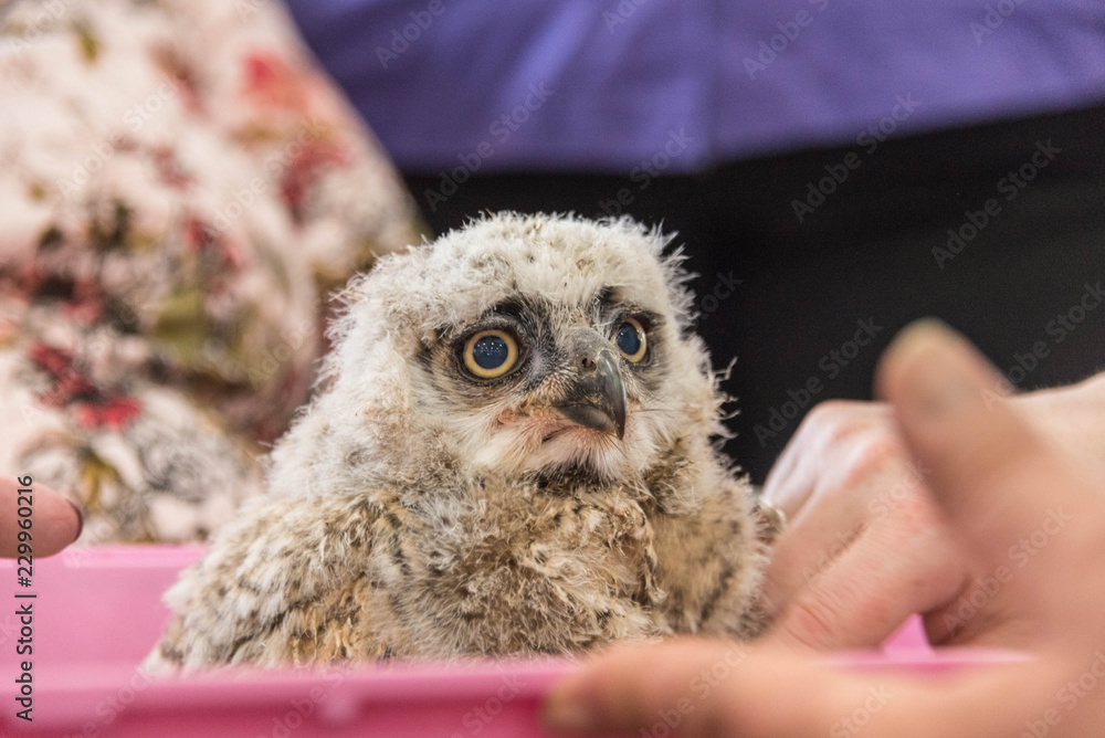 Close up of a baby great horned owl.