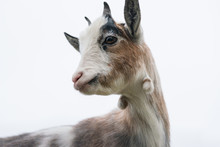 Close Up Of The Face Of A Brown And White Pygmy Goat