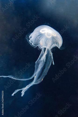 A jellyfish floating in an aquarium.
