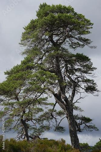 Fotografia, Obraz  Glen Affric National Nature Reserve, Scotland: Scots pine (Pinus sylvestris L