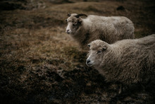 Sheeps Standing On A Meadow In...