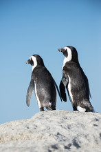 African Penguins In Boulders B...