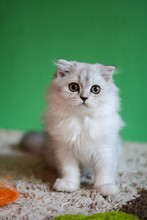 Kitten Cat Scottish Straight, Lop-eared Fluffy, Animal