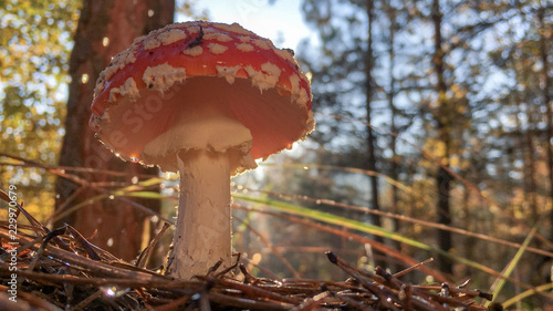 Photo Amanita muscaria fly agaric red mushrooms with white spots in grass