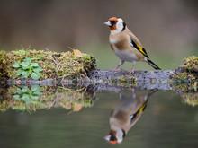 Goldfinch, Carduelis Carduelis