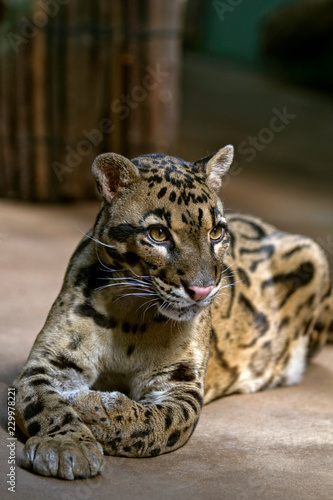 Foto  Portrait - Cloud Leopard