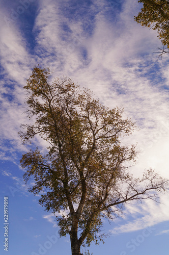 poplar tree in autumn with leaves and sky Wallpaper Mural