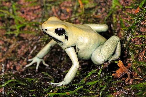 Recess Fitting Frog Schrecklicher Pfeilgiftfrosch (Phyllobates terribilis) - Golden poison frog