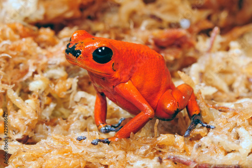 Canvas Prints Frog Erdbeerfröschchen (Oophaga pumilio) - Strawberry poison-dart frog