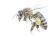 canvas print picture - Honigbiene Freigestellt