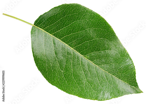 Pear green leaf isolated on white background with clipping path
