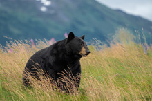 Beautiful Alaska Black Bear Si...
