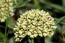Antelope-horns, Spider Milkweed, Green-flowered Milkweed, Spider Antelope-horns (Asclepias Asperula)