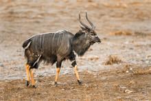 Nyala In Kruger National Park,...