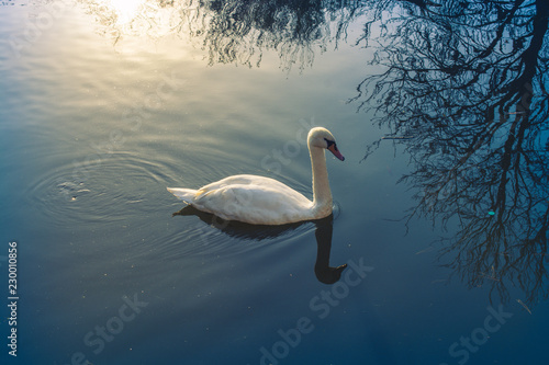 Single swan lives in the pond