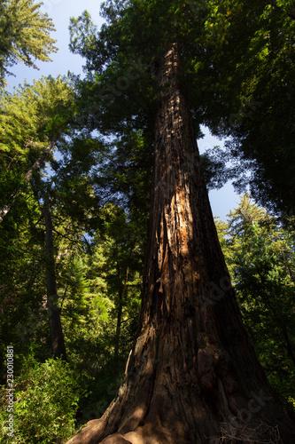 Fotografie, Obraz  Trunk of an Ancient Redwood Tree
