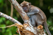 Long Tail Macaque (Crab Eating Macaque) Monkey In The Rainforest Of Borneo