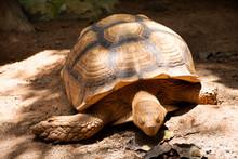 Aldabr Or Seychelles Giant Tor...