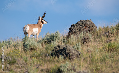 Foto op Canvas Antilope Antelope skyline in Yellowstone Park