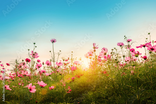 Poster Universe Beautiful cosmos flowers in garden background.