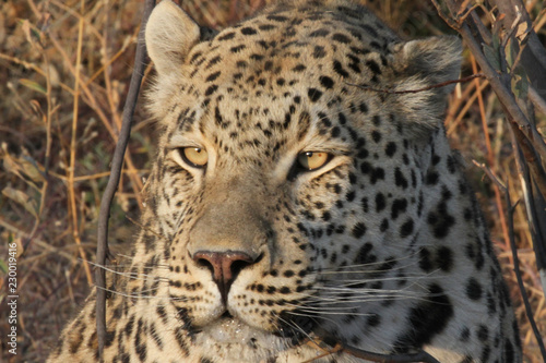 Poster Luipaard Namibian Leopard