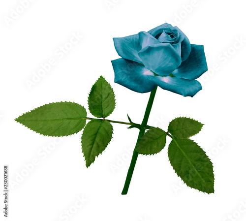Fotografia  A flower of a turquoise rose on a green stem with leaves