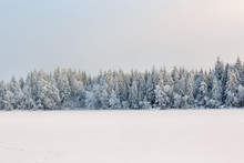 Winter Coniferous Forest With ...
