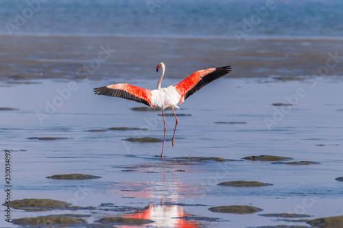 Foto op Aluminium Flamingo Greater Flamingo ( Phoenicopterus ruber roseus) spreading wings, Walvis bay, Namibia.