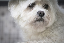 Portrait Of Maltese Dog Feeling Sad Looking Thorugh Fence