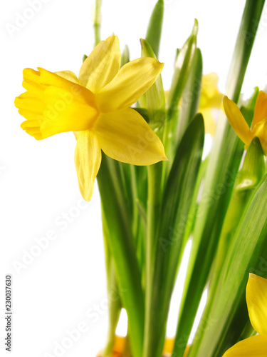yellow Daffodil in pot isolated on white