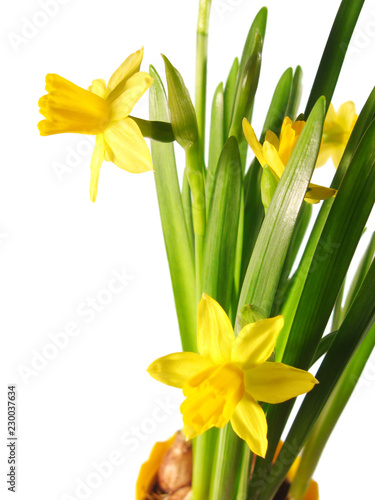 Deurstickers Narcis yellow Daffodil in pot isolated on white