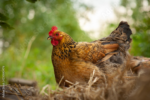 beautiful, rich red color chicken, Kuchinskaya-anniversary breed, on a blurred background, walks on straw in the garden