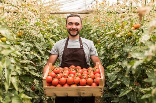 Happy organic farmer man harvesting tomatoes in greenhouse Poster Mural XXL