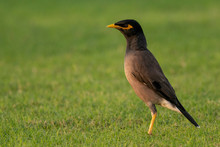 Sharp Look From Common Myna Wh...