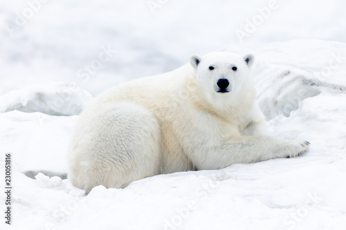 In de dag Ijsbeer Polar Bears of Wrangel Island