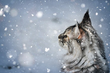 Silver Tabby Maine Coon Cat Watching At The Falling Snow In Winter Scene.