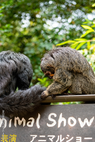 Photo  Male and Female White-faced Saki Monkeys