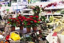 Potted Poinsettia Flowers And Christmas Decor In Market