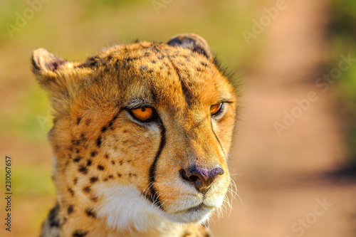 Portrait of cheetah species Acinonyx jubatus, family of felids, in South Africa. Side view of african cheetah on blurred background in natural habitat.