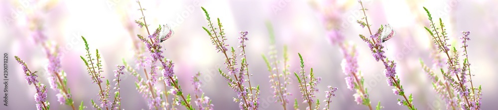 Fototapety, obrazy: Horizontal banner with lavender flower and butterfly