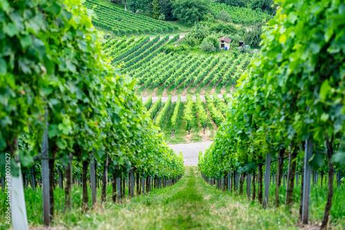 Vineyard, Stuttgart, Germany