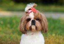 Dog Shi Tzu Outdoors