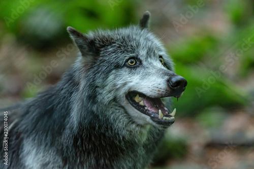 Papiers peints Loup Loup du Canada